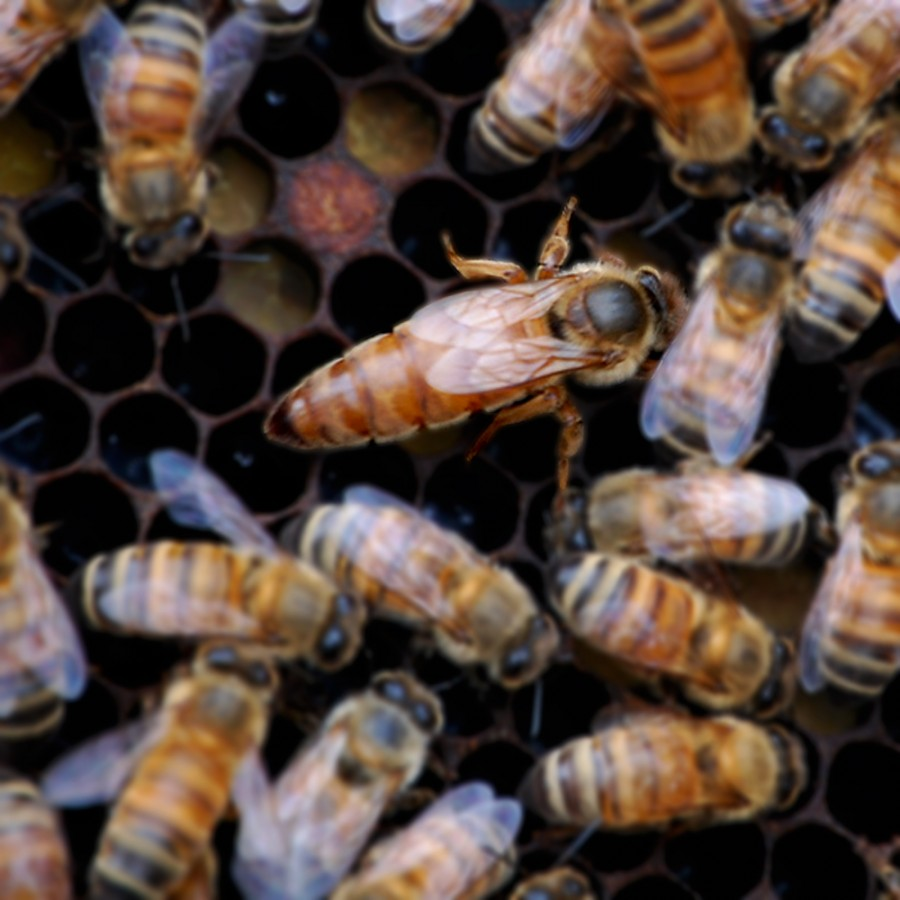 It's important to have a healthy and fully mated queen bee from good genetic stock.