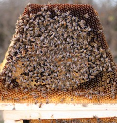 Buy chemical-free, overwintered top bar hive nucs for sale locally in Virginia