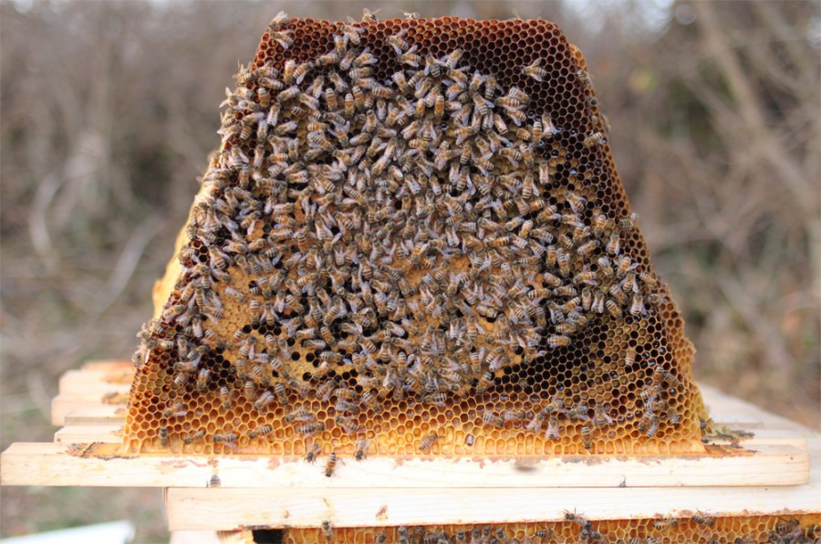 Winter-surviving, chemical free top bar hive bee nucs for sale in Virginia