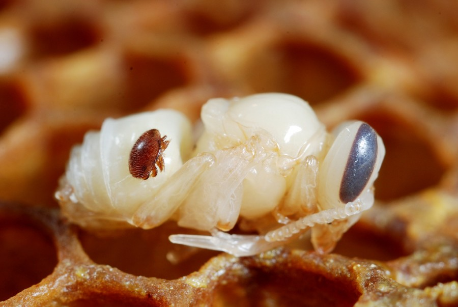 To be a successful beekeeper, you will have to do battle with the varroa destructor