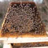 Nucs come with 5 top bars with honey, pollen, capped brood, and open brood