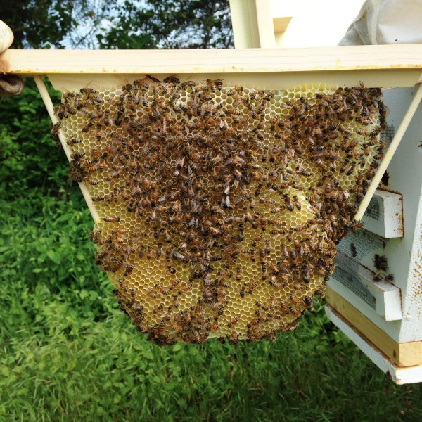 Top Bar Hive Nucs for sale from chemical-free, winter-surviving stock